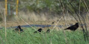 Black crows on the green grass. Corvidae looking for food.